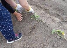 芋の苗植え🍠